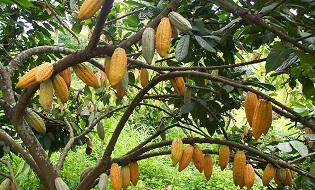 Cocoa Plantation
